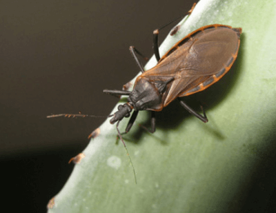All Sorts of Stings: Assassin Bugs