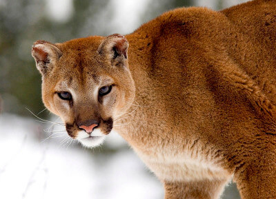 Mountain Lions in the Southwest